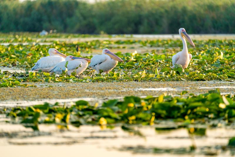 Pelican colony resting in Danube Delta Romania. Wildlife artistic photography in Danube Delta Europe Romania royalty free stock image