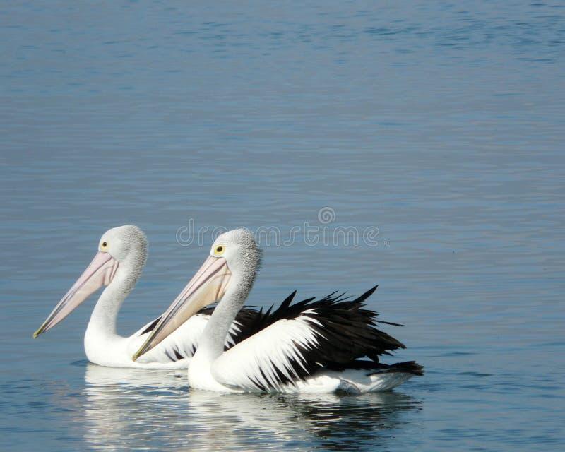 Pelican couple stock photo