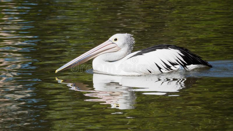 Pelican cruising for a feed stock photography