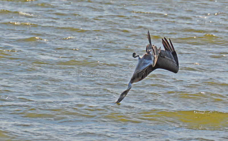Pelican Dives Upside Down! royalty free stock images