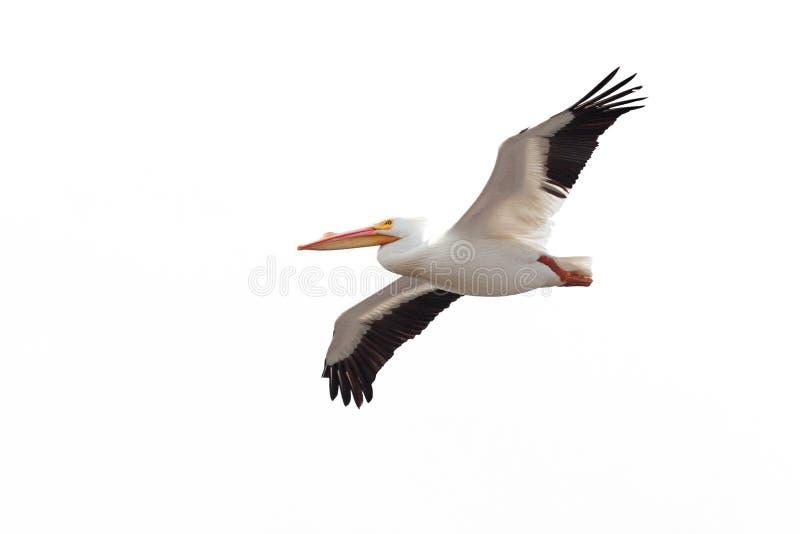 Pelican Drifts Across the Sky stock photos