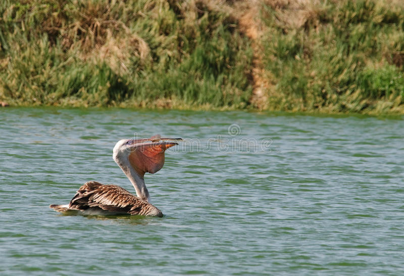 Pelican eating a fish stock image