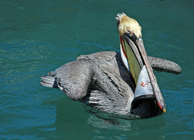 Pelican eating swordfish skin while swimming in teal blue waters of harbor of Cabo San Lucas Baja Mexico. MEX stock images