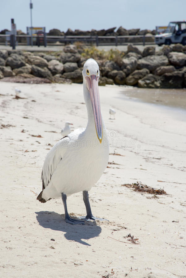 Pelican with Elongated Beak. Pelican standing on beach posing with it`s elongated beak and bright yellow eyes at Rottnest Island in remote Western Australia royalty free stock images