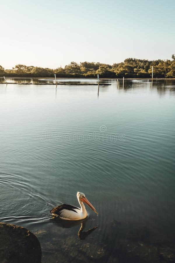 A pelican enjoying the late afternoon sun on the river at Yamba, Northern New South Wales, Australia. A pelican enjoying the late afternoon sun with boats in the stock photos