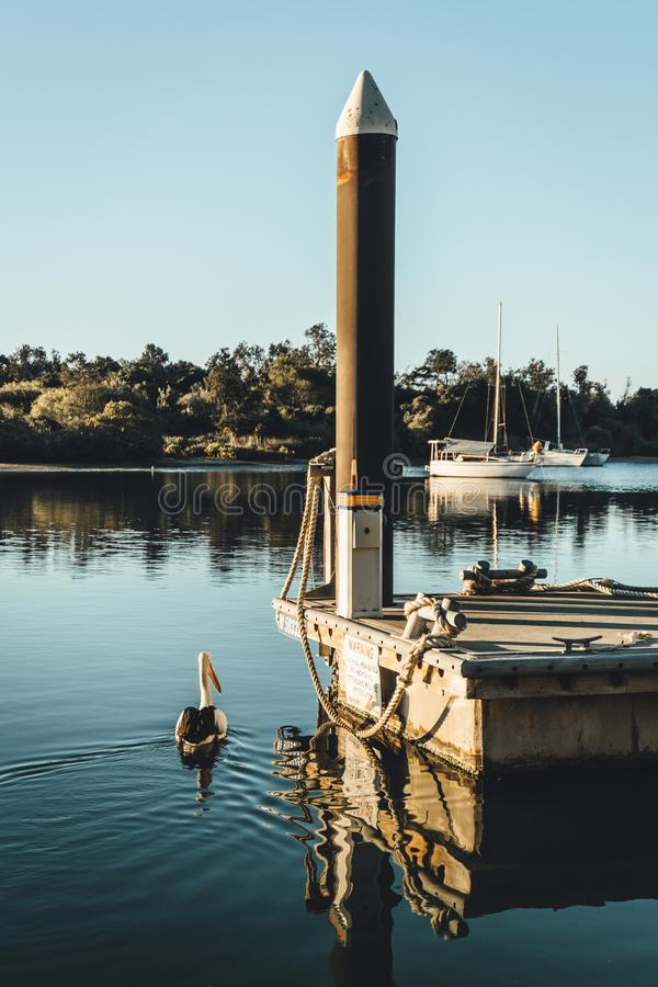 A pelican enjoying the late afternoon sun on the river at Yamba, Northern New South Wales, Australia. A pelican enjoying the late afternoon sun with boats in the royalty free stock photos