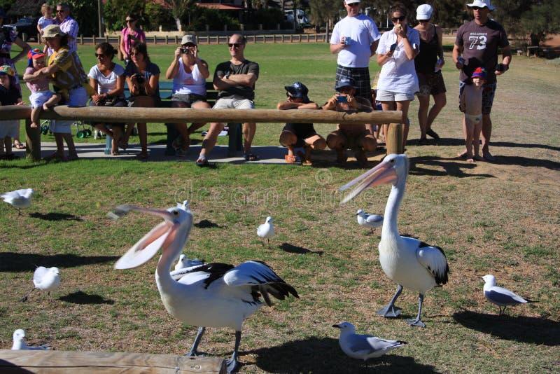 Pelican Feeding - Kalbarri Editorial Stock Photo