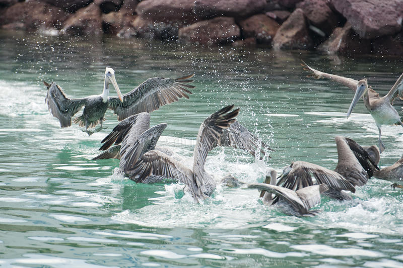 Pelican while fighting for food royalty free stock photography