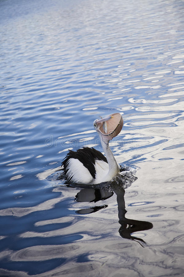 Download Pelican With Fish Royalty Free Stock Image - Image: 35479126