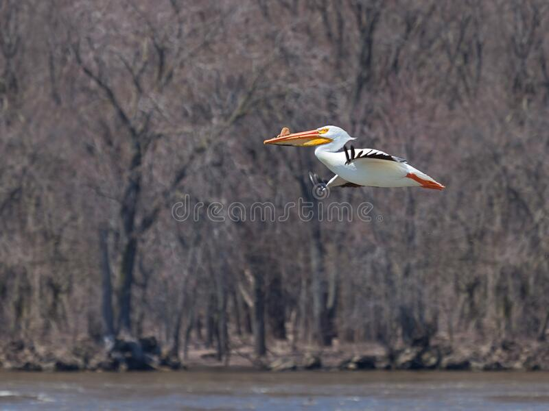 Pelican Flies Above the Mississippi River. With its striking white feathers, a single American white pelican floats above the muddy waters of the MIssissippi stock photography