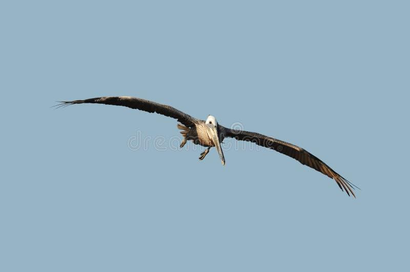 Download Pelican in flight stock photo. Image of animal, majestic - 11865868
