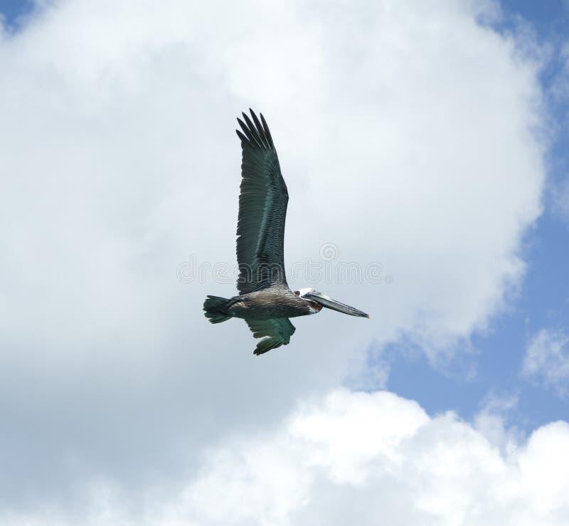 Download Pelican In Flight Stock Photos - Image: 12983583