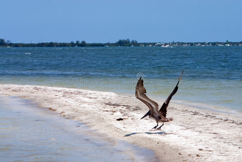 Pelican Flight stock photos