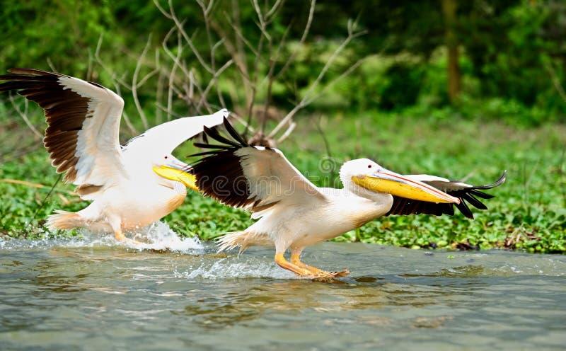 Download Pelican In Flight stock photo. Image of kenya, safari - 28658216