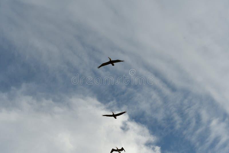 Pelican in flight - East Coast Atlantic Ocean bird life - Pelecanus occidentalis. Pelican birds fly in formation across a blue sky with clouds. On Tybee Island stock photos
