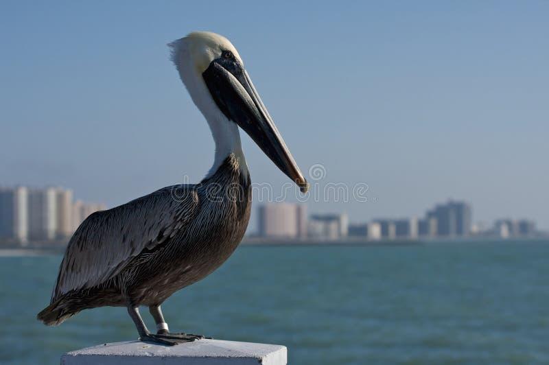 Pelican in Florida. stock photos