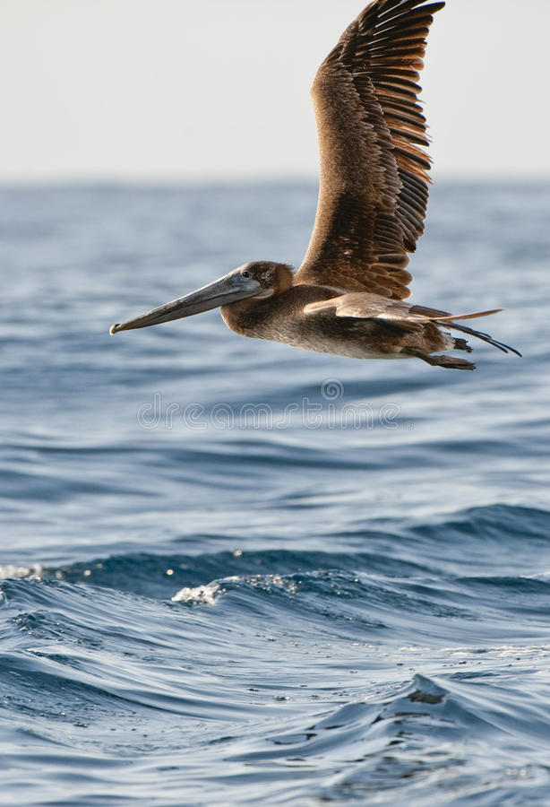 Download Pelican Flying Royalty Free Stock Photo - Image: 10882615