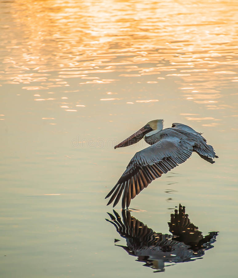 Pelican flying. Big pelican flying close over the sunset waters touching his wing on the surface stock photography