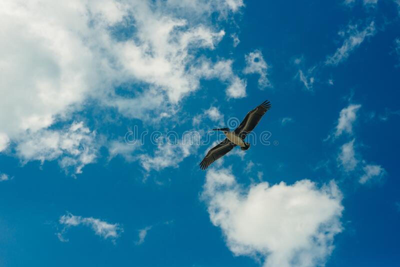 Pelican flying in the Caribbean sky. Isolated subject in the blue sky. Bird of the local fauna of mexico.  stock photos