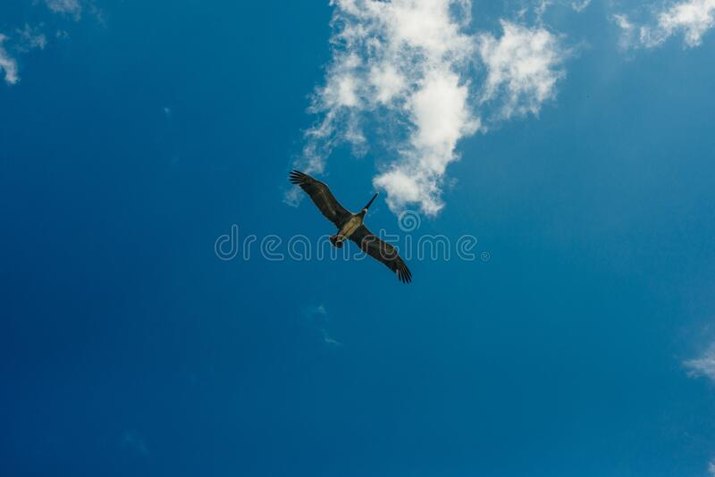 Pelican flying in the Caribbean sky. Isolated subject in the blue sky. Bird of the local fauna of mexico.  stock photography