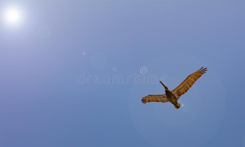 Pelican flying on clear blue sky background, sunny spring day, under view royalty free stock image