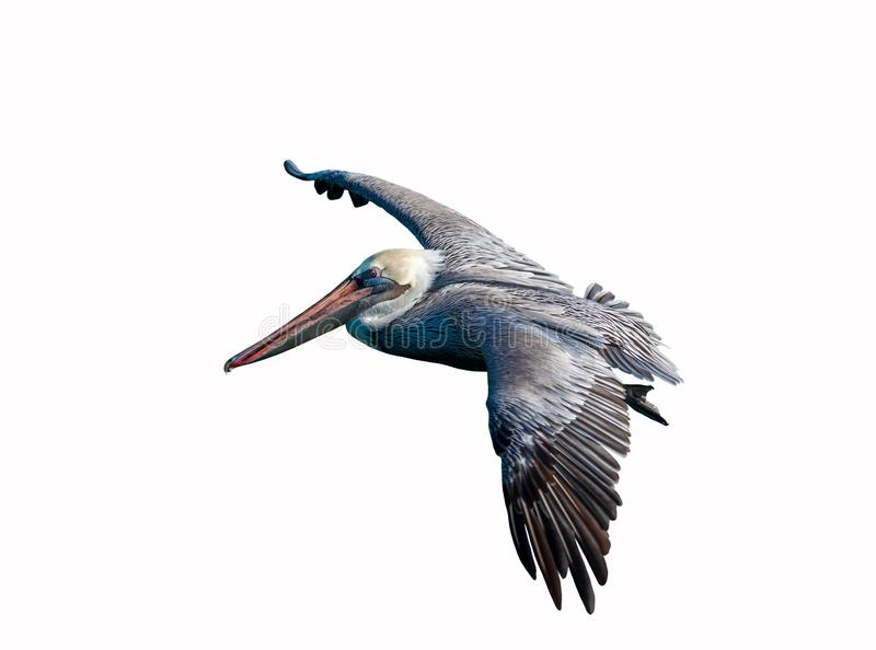 Pelican flying close up cut out royalty free stock images