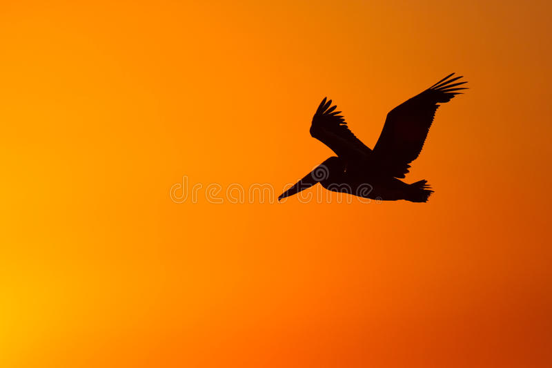 A pelican flying infront of a sunset. A brown pelican flying infront of a sunset stock photography