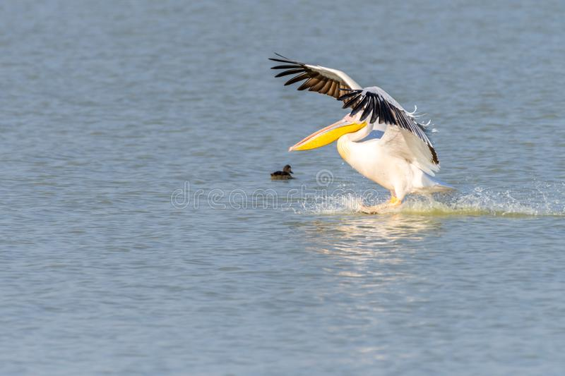 Pelican Flying by at nata birds sanctuary in botswana in africa. Pelican Flying by at nata birds sanctuary in botswana, africa stock photos