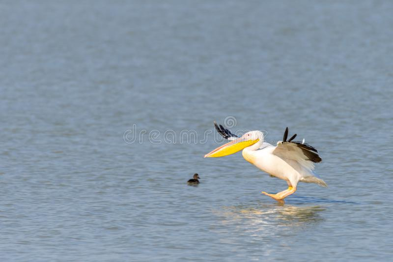 Pelican Flying by at nata birds sanctuary in botswana in africa. Pelican Flying by at nata birds sanctuary in botswana, africa royalty free stock photo