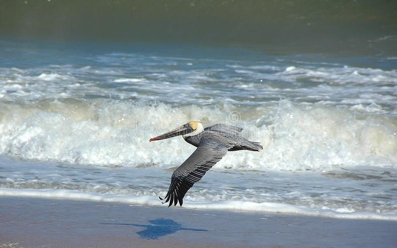 Pelican flying over surf. A pelican flying over a beach with waves coming ashore royalty free stock image