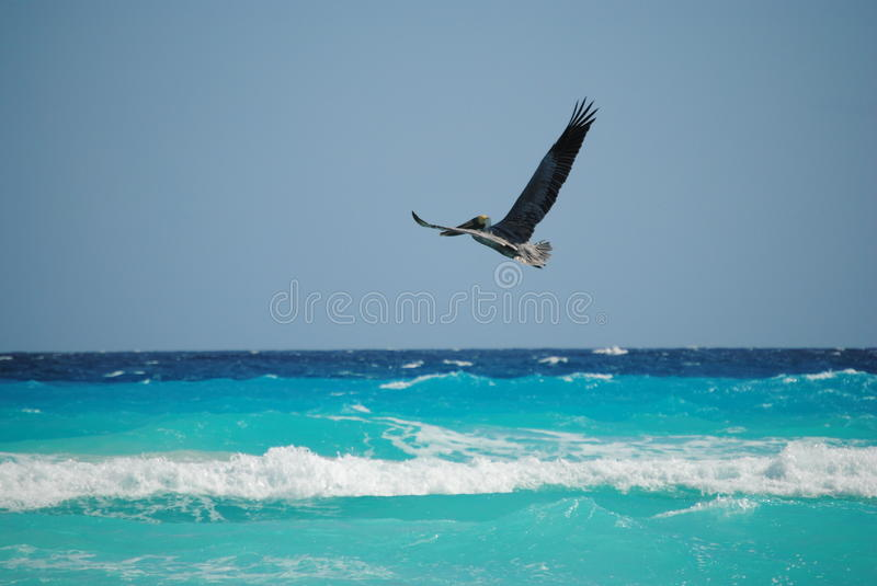 Pelican Flying over the Caribbean Sea in Cancun Mexico stock photo