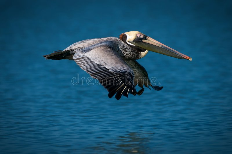 Download Pelican flying over ocean stock photo. Image of travelling - 8470092