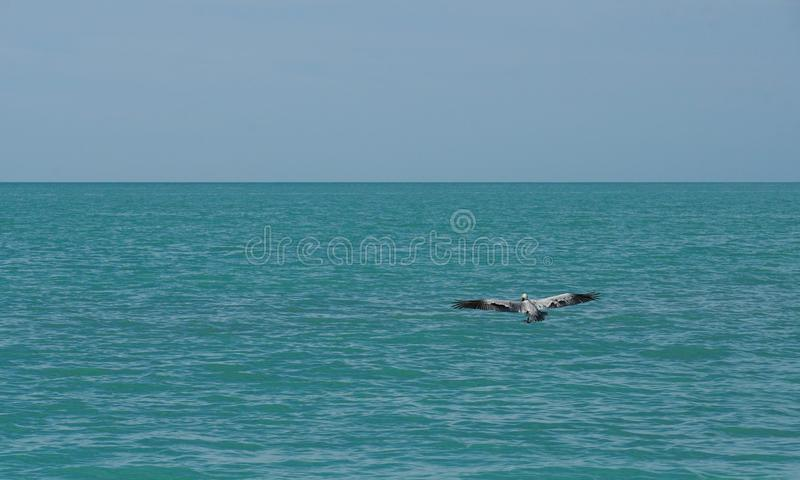 Pelican flying over the ocean royalty free stock photo