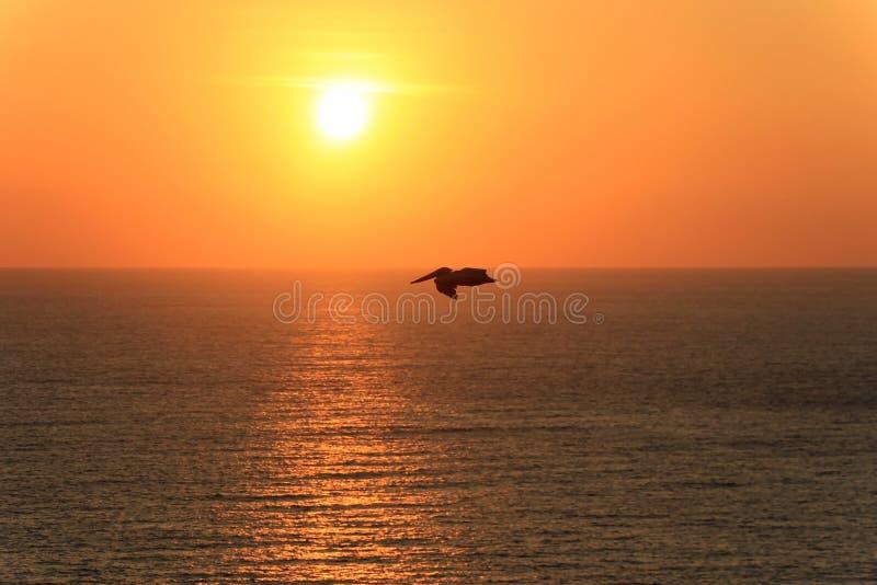Pelican flying over ocean at sunset, Ecuador. South America stock photos