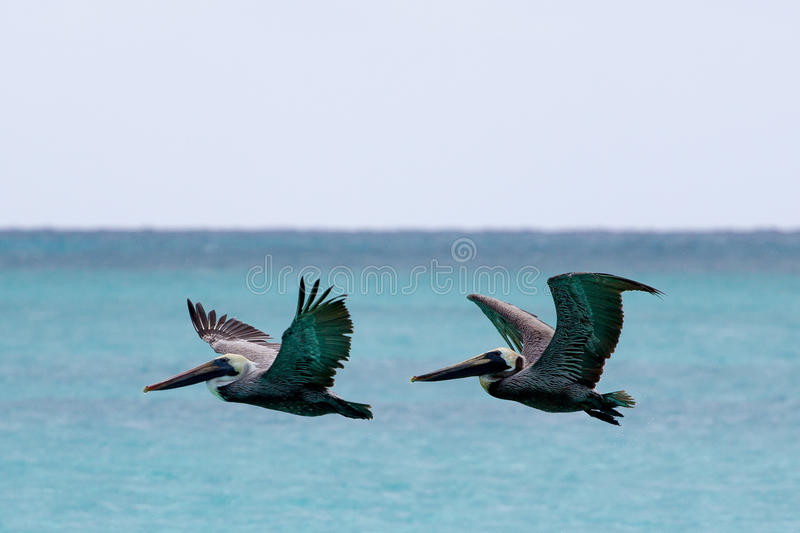 Download Pelican Flying Over The Sea Stock Image - Image of nature, water: 27886585