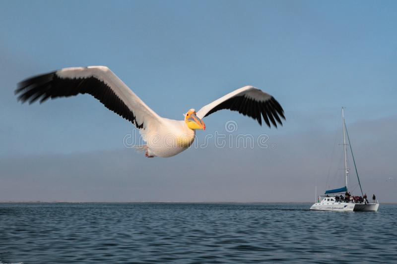 The pelican is flying over the sea in Walvis Bay stock images