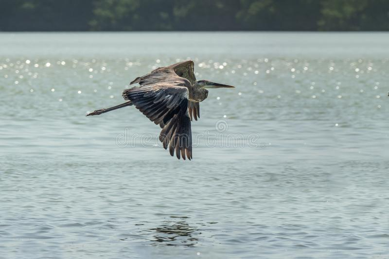 A pelican flying over the water stock photo