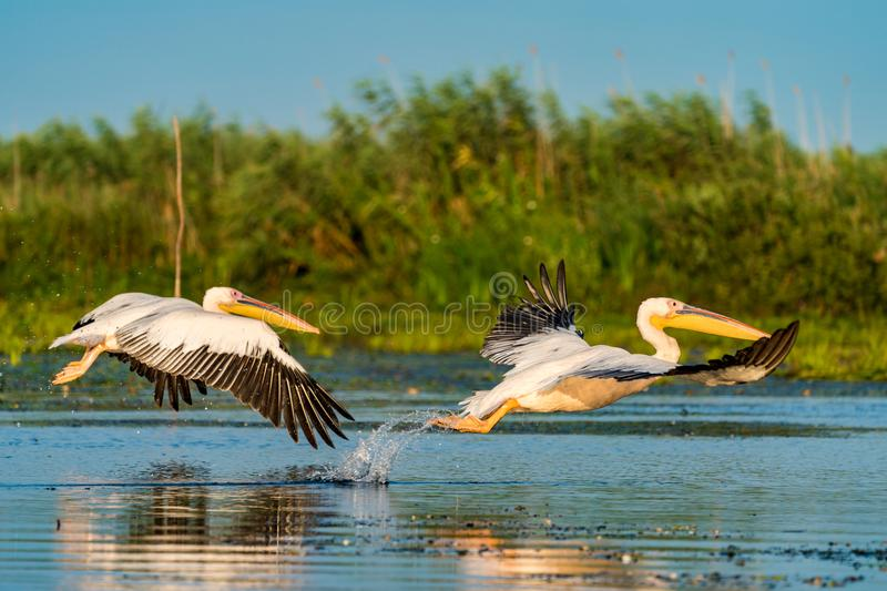 Pelican flying over water at sunrise in the Danube Delta. Wildlife artistic photography in Danube Delta Europe Romania royalty free stock photography
