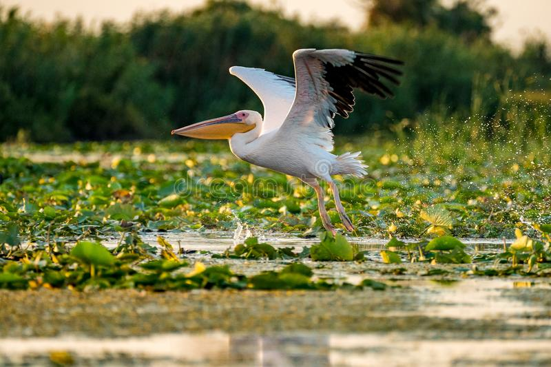 Pelican flying over water at sunset in the Danube Delta. Europe Romania royalty free stock photography