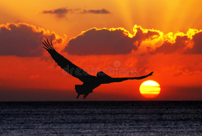 Pelican flying in sunset. Silhouette royalty free stock photography