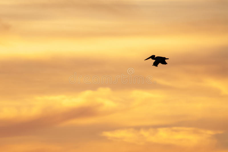 Pelican flying into sunset. Brown pelican flying into sunset in Nicoya peninsula, Costa Rica stock photos