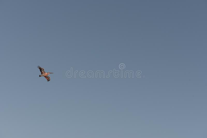 Pelican flying during sunset. A pelican bird is seen flying overhead during sunset on a clear and sunny day in North Stradbroke Island, Queensland, Australia royalty free stock images