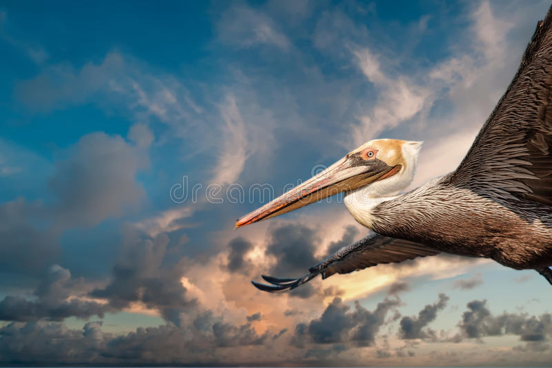 Pelican while flying at sunset. Pelican portrait while flying at sunset on the sky background royalty free stock photography