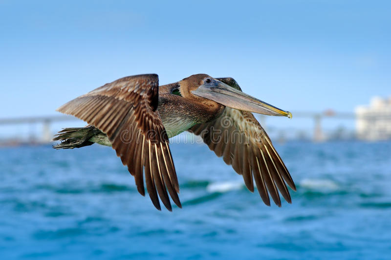 Pelican flying on thy evening blue sky. Brown Pelican splashing in water, bird in nature habitat, Florida, USA. Wildlife scene fro royalty free stock photography