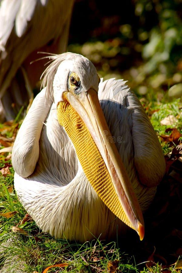 Pelican Gaze On Blurred Green Background Stock Photos