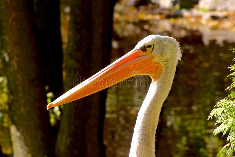 Pelican gaze on blurred green background