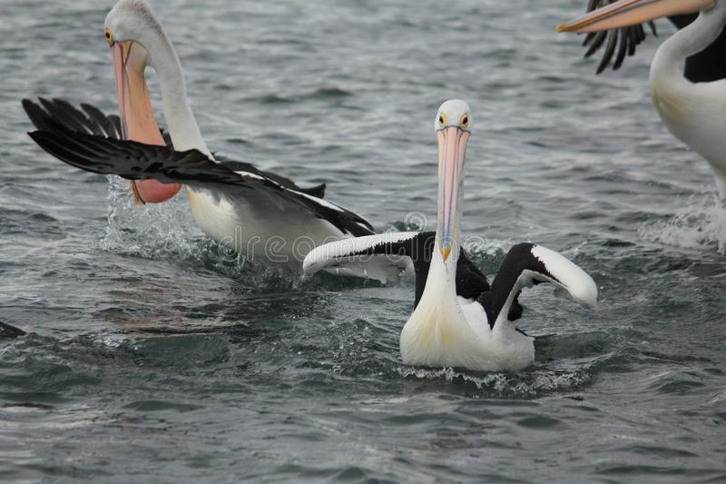 Pelican in Gippsland Lakes, Australia stock photography