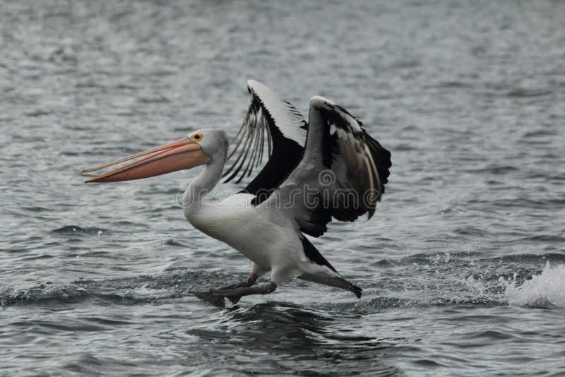 Pelican in Gippsland Lakes, Australia stock photo
