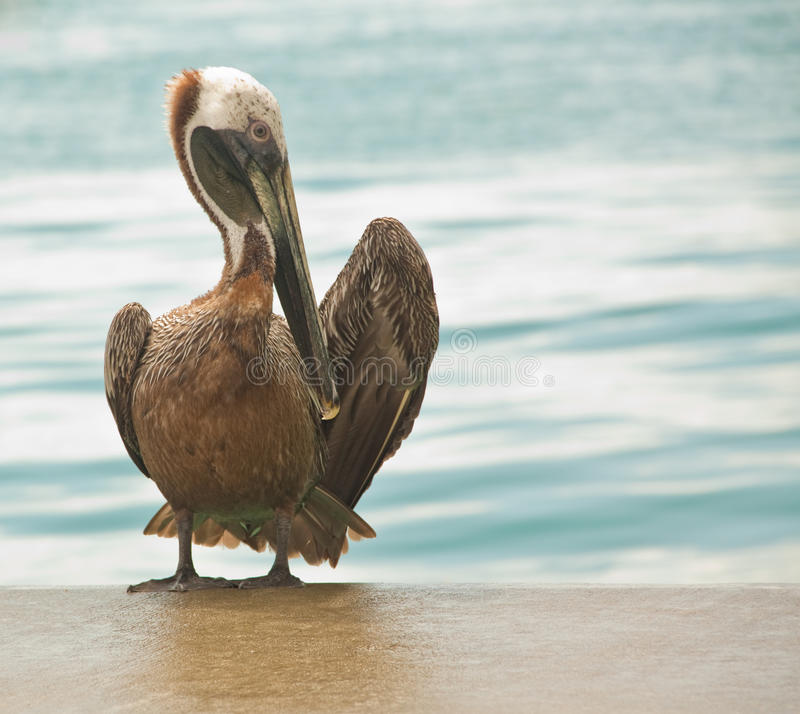 Free Pelican Grooming Royalty Free Stock Photos - 14180218