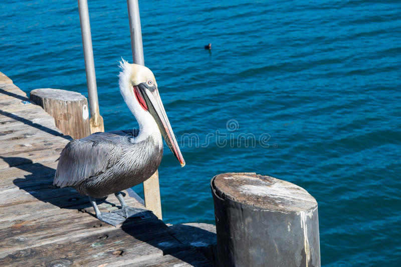 Pelican on harbor with blue ocean background royalty free stock images